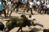 Video: చిత్తూరులో జల్లికట్టు... భారీసంఖ్యలో హాజరైన యువకులు...