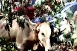 Video : 10 రోజులు మృత్యువుతో పోరాడిన ఆవు... రక్షించిన GHMC టీమ్...