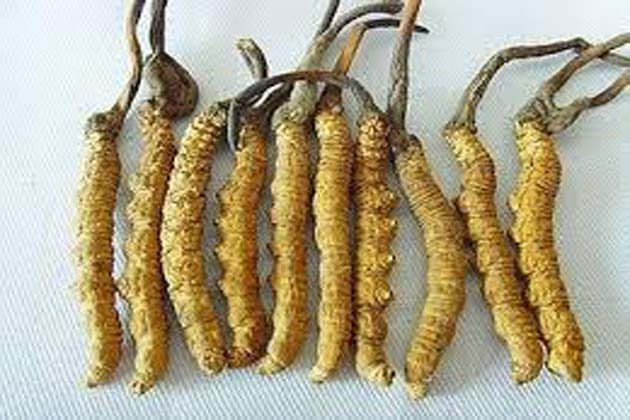 yarsagumba, yarsagumba benefits, yarsagumba in nepal, himalayan viagra, what is yarsagumba, yarsagumba fungus, uses of yarsagumba, yarsagumba how to use, sex education, సెక్స్ సామర్ధ్యం, యర్సాగుంబా, యర్సాగుంబ