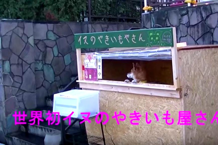 Strange News | Strange News Dog maintains a shop in japan | జపాన్ ప్రజలు కుక్కలు, పిల్లులు ఇతర జంతువులతో పనులు చేయిస్తారు. ఈ కుక్క కూడా అలా ట్రైనింగ్ పొందినదే.